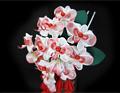 かんざし胡蝶蘭